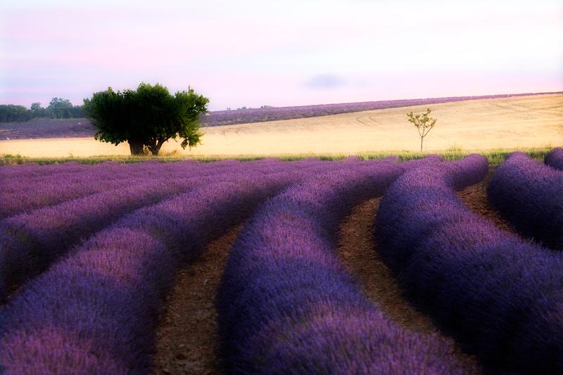Lavender-100-Percent-Orton