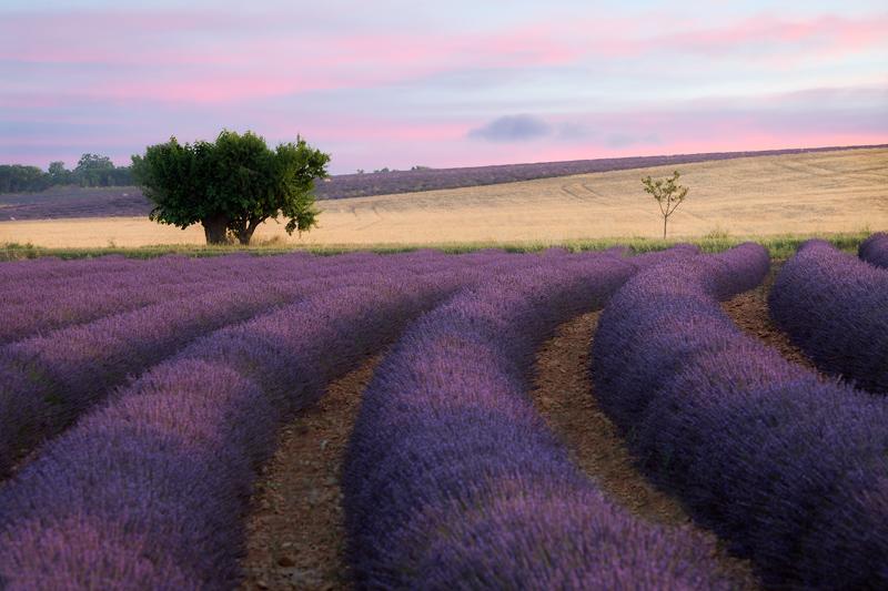 Lavender-30-Percent-Orton