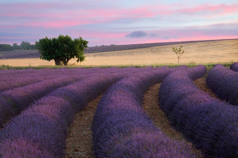 Lavender-Selective-Orton