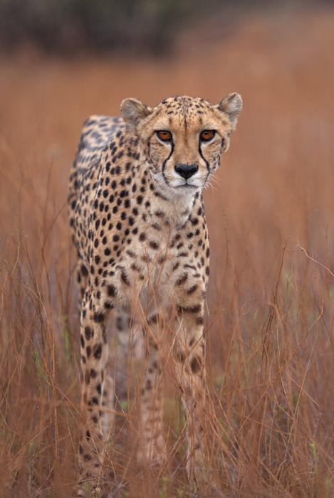 A cheetah in a field looking intently at the camera