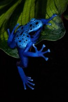 amphibian,blue poison dart frog,colorful,dendrobates azureus,frog,frog and reptile,frog reptile,jim zuckerman,night,poison dart frog,poison frog