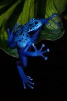amphibian,blue poison dart frog,colorful,dendrobates azureus,frog,frog and reptile,frog reptile,jim zuckerman,night,poison dart frog,poison frog
