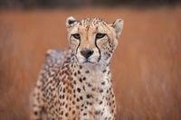 africa,african,cat,cheetah,horizontal,mammal,naankuse,naankuse lodge,namibia,namibian