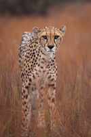 africa,african,cat,cheetah,mammal,naankuse,naankuse lodge,namibia,namibian,safari,vertical