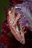 amphibian,cinnamon frog,cinnamon tree frog,colorful,frog,nyctixalus pictus,poison dart frog,poison frog,salientia,small,tiny,vertical