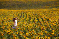 europe,flower,france,horizontal,southern,sunflower,valensole,yellow