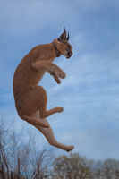 africa,african,caracal,cat,jumping,lynx,mammal,naankuse,naankuse lodge,namibia,namibian,ninja,vertical