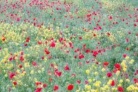 2016,May,Spring,europe,flower,horizontal,italy,landscape,poppies,poppy,tuscany