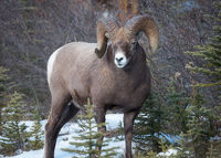 alberta,canada,close-up,icefields parkway,jasper national park,mammal,north america,ram,wildlife