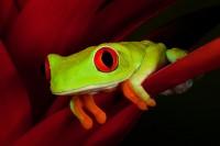 agalychnis callidryas,amphibian,colorful,flower,frog,gaudy,heliconia,horizontal,red-eyed,red-eyed tree frog,salientia