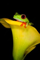 agalychnis callidryas,amphibian,colorful,frog,gaudy,red-eyed,red-eyed tree frog,salientia,vertical