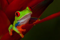 agalychnis callidryas,amphibian,colorful,flower,frog,frog and reptile,frog reptile,gaudy,heliconia,horizontal,jim zuckerman,night,red,red-eyed,red-eyed tree