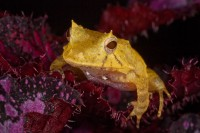 amphibian,ceratobatrachus guentheri,colorful,frog,horizontal,poison dart frog,poison frog,salientia,small,solomon island leaf frog,tiny