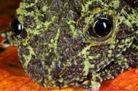 amphibian,bug-eyed frog,frog,horizontal,poison dart frog,poison frog,rhacophoridae,salientia,theloderma corticale,tonkin,vietnamese mossy frog