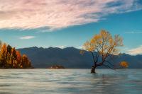 2016,New Zealand,april,autumn,evening,fall,south island,southern,sunset,tree,trees,wanaka,wanaka lake