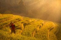 asia,bali,belimbing,east java,farmer,field,indonesia,java,male,man,morning,mountain,old,rice,rice terrace,tabanan