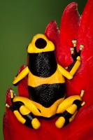 amphibian,bumblebee poison frog,colorful,dart,dendrobates leucomelas,frog,poison,poison dart frog,poison frog,salientia,small,tiny,vertical,yellow-banded,yellow-banded p