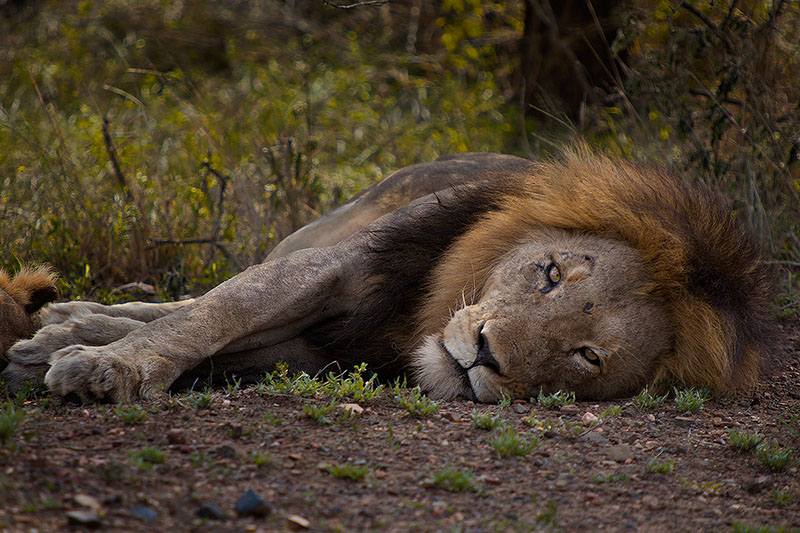 africa,african,cat,horizontal,kruger,kruger national park,lion,mammal,safari,south africa