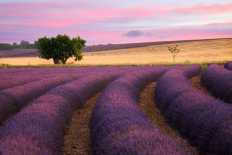 europe,france,horizontal,lavender,purple,southern,tree,valensole