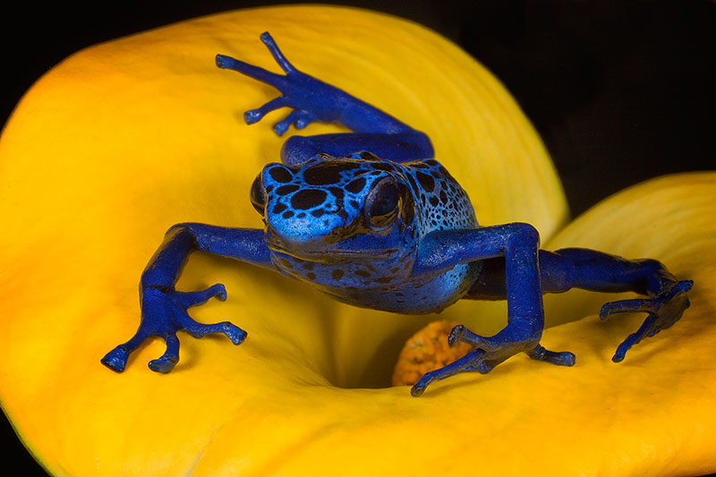 amphibian,blue poison dart frog,colorful,dendrobates azureus,flower,frog,frog and reptile,frog reptile,horizontal,jim zuckerman,night,poison dar, photo