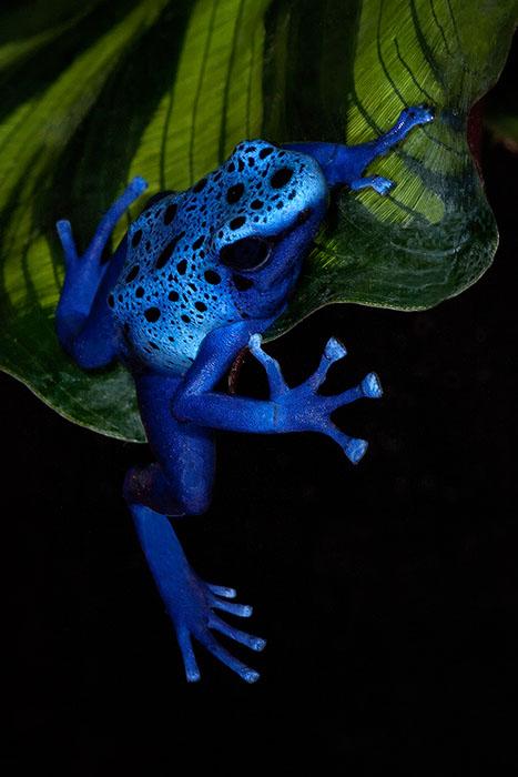 amphibian,blue poison dart frog,colorful,dendrobates azureus,frog,frog and reptile,frog reptile,jim zuckerman,night,poison dart frog,poison frog, photo