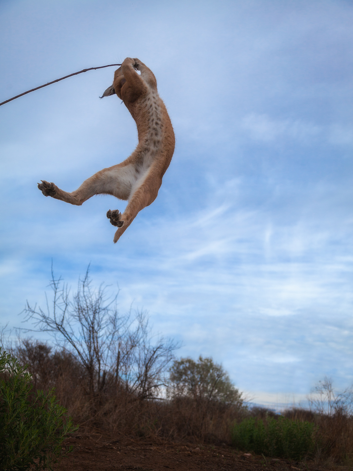 africa,african,caracal,cat,jumping,lynx,mammal,naankuse,naankuse lodge,namibia,namibian,vertical, photo
