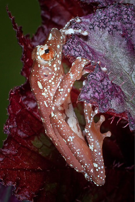 Cinnamon Tree Frog hanging from a purple leaf