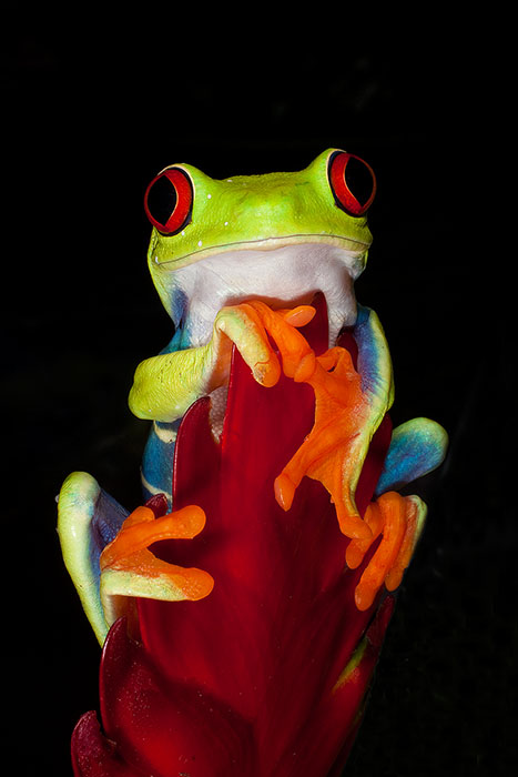 Colorful Red-Eyed Tree Frog climbs to the top of a red leaf
