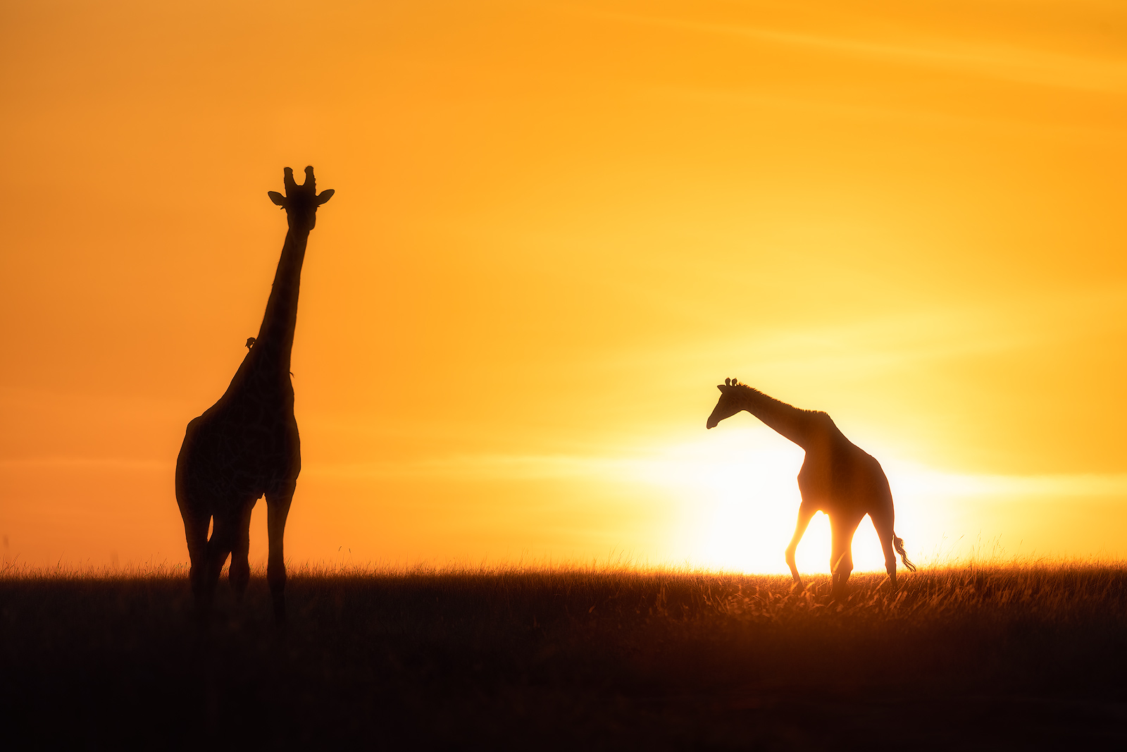 Giraffes crossing paths with a brilliant African sunrise.