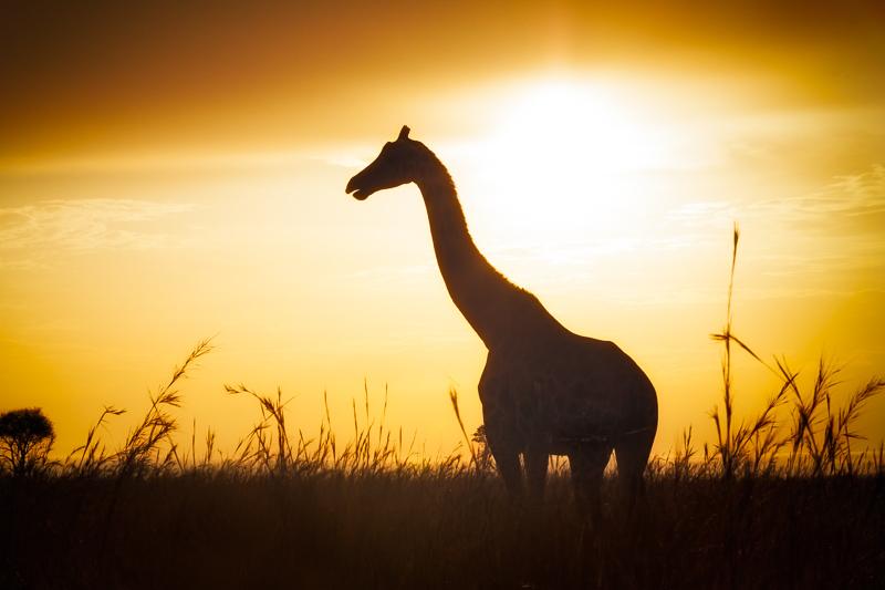 africa,giraffe,murchison,murchison falls,murchison falls state park,profile,silhouette,uganda, photo