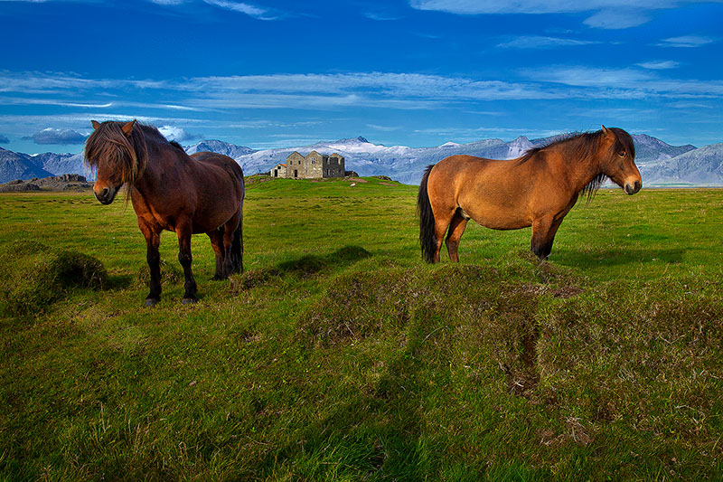 europe,horizontal,horse,iceland,icelandic,mammal, photo