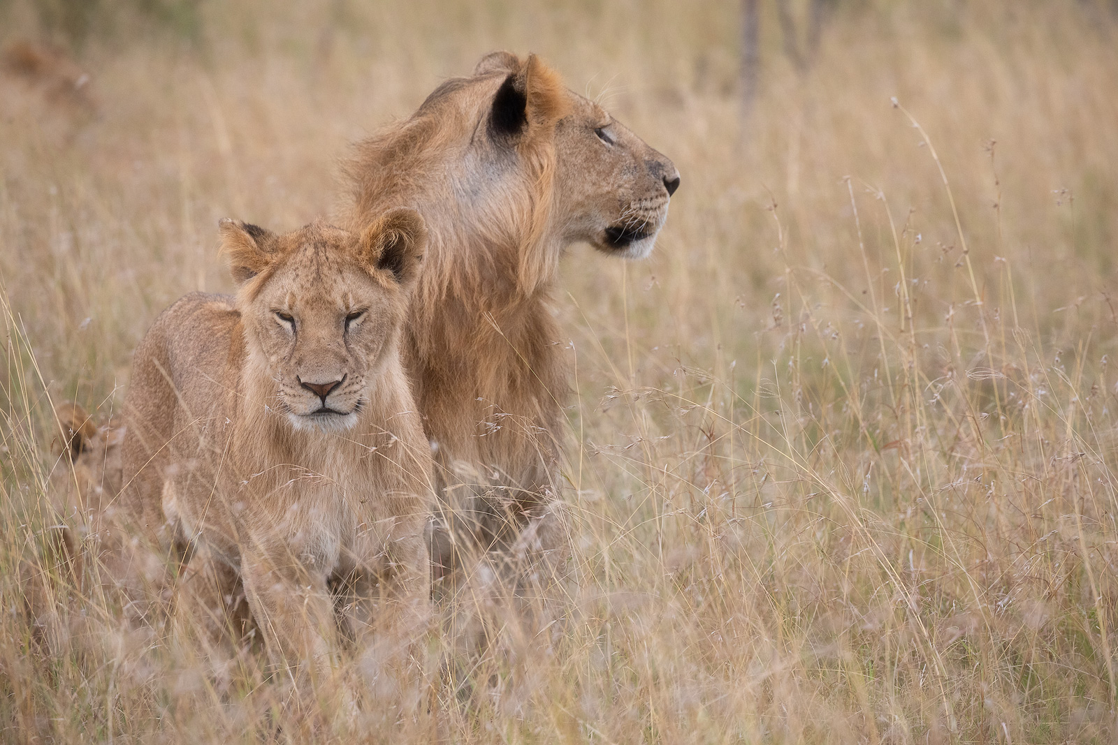 A beautiful lion and lioness relaxing in tall grass in Kenya.
