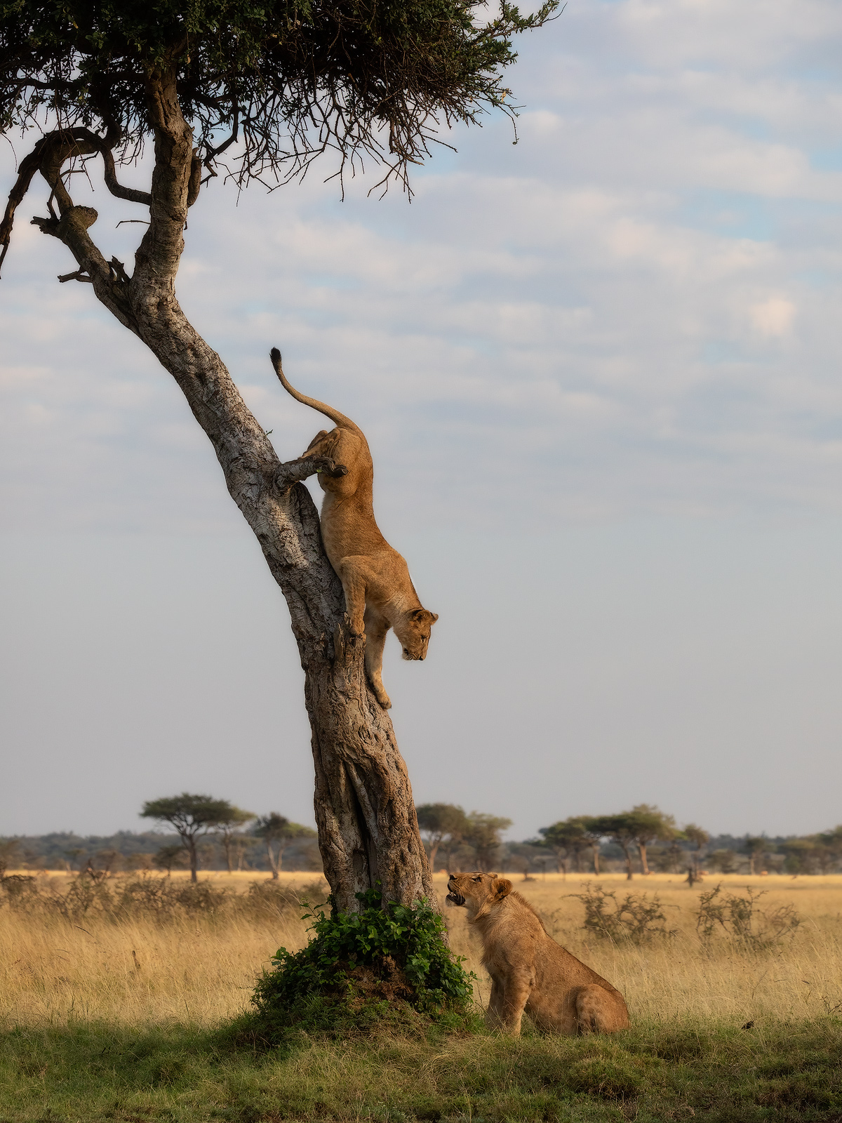 Two lions playing a game of cat and mouse in the plains of the Masai Mara.
