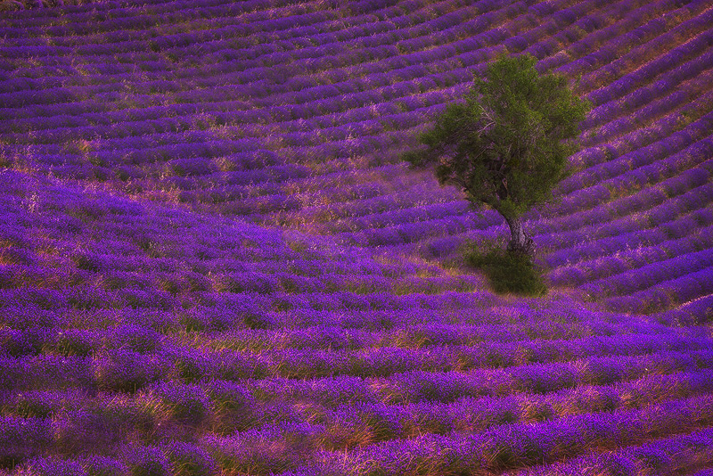 europe,france,horizontal,lavender,purple,sault,southern,tree, photo