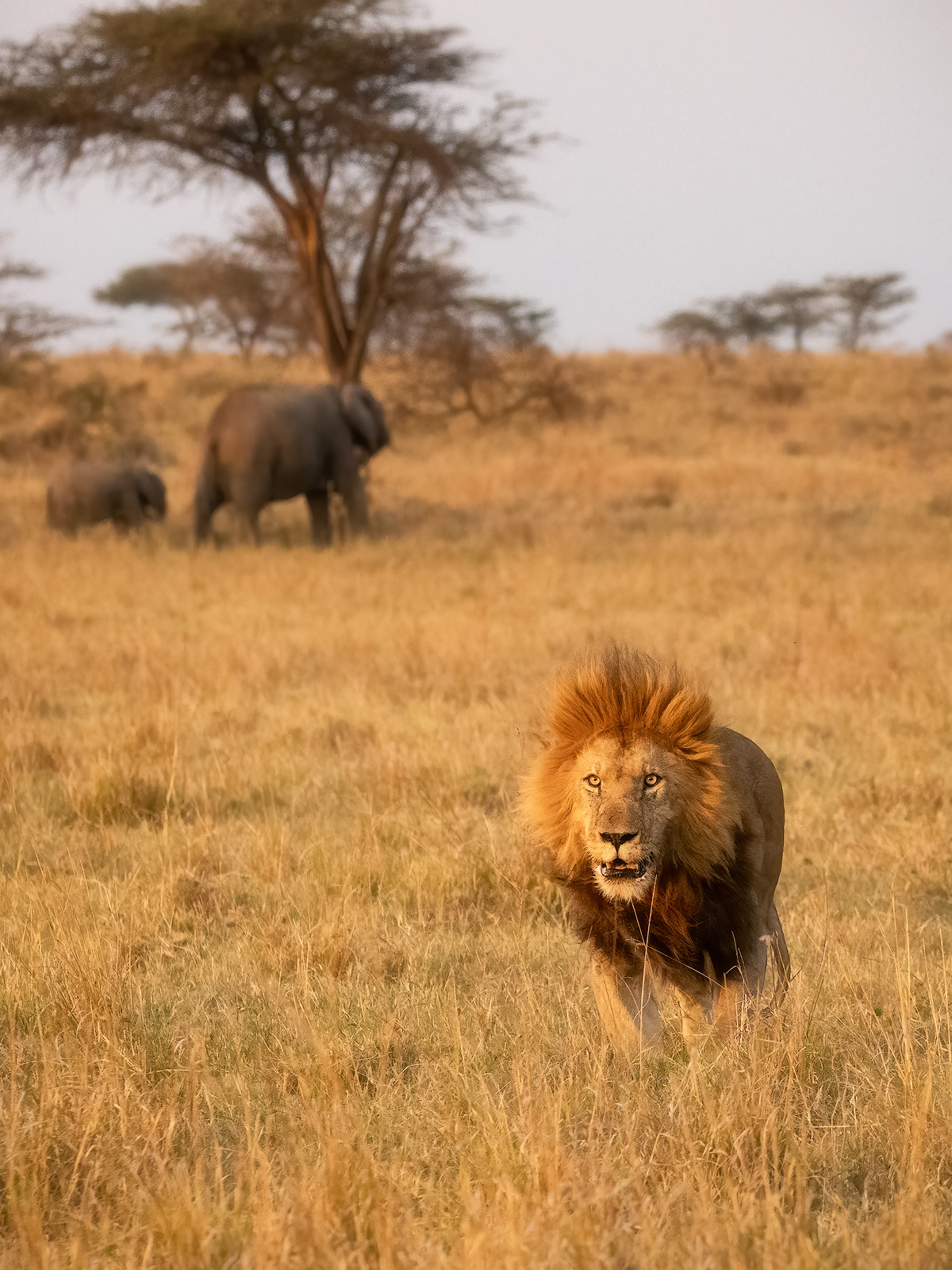 A stressed, older male lion being chased out of his territory by a younger male.