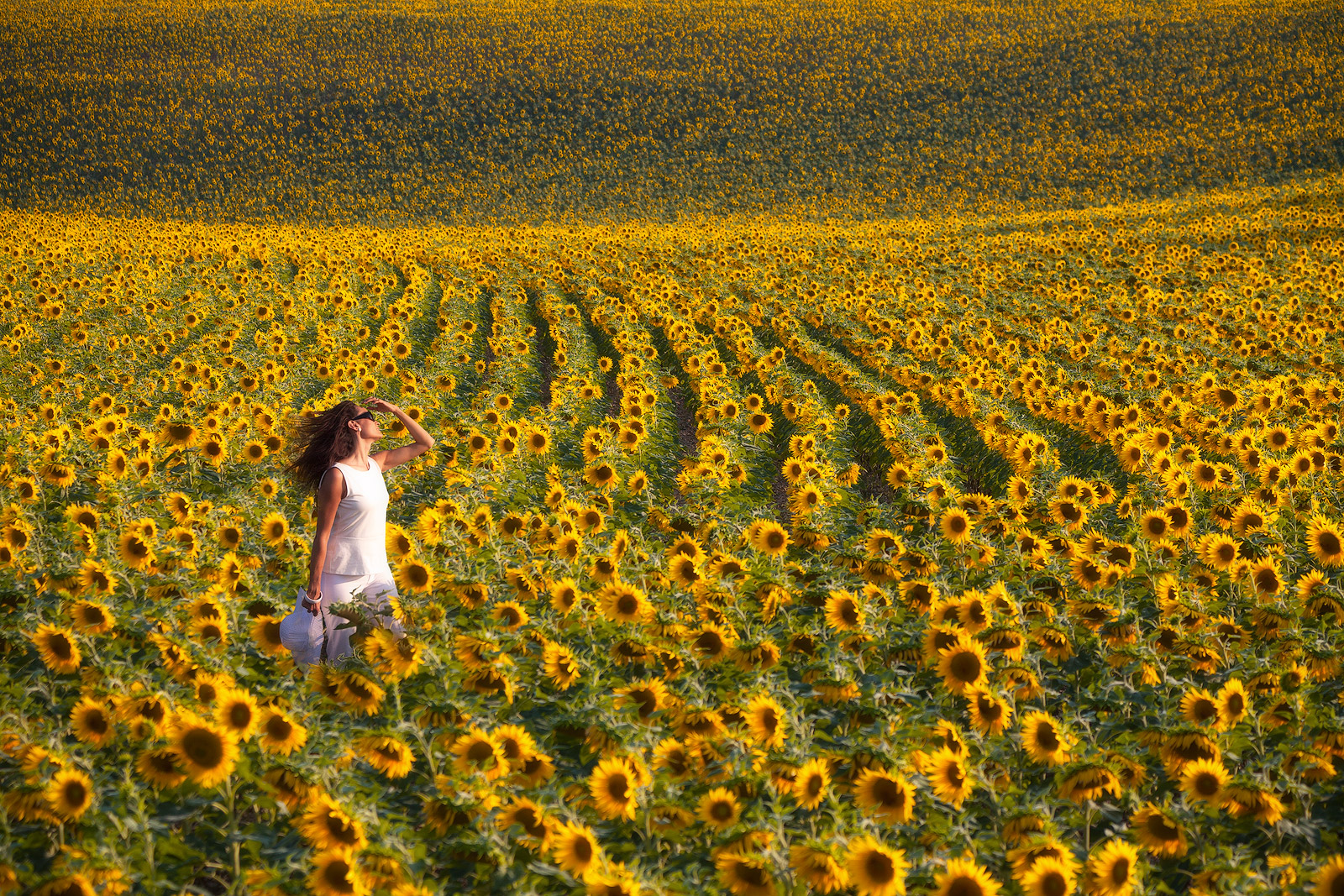 europe,flower,france,horizontal,southern,sunflower,valensole,yellow, photo