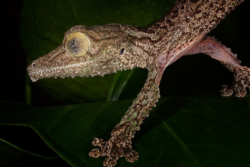 gecko,horizontal,lizard,mossy leaf-tailed gecko,reptile,uroplatus sikorae, photo