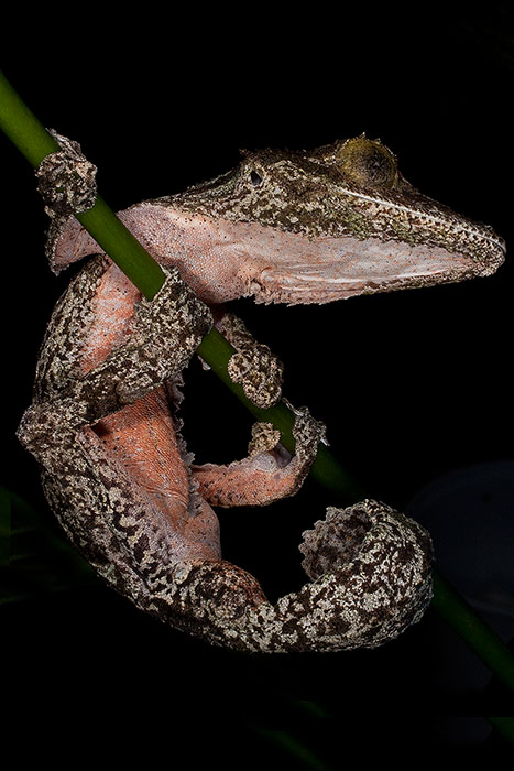 gecko,lizard,mossy leaf-tailed gecko,reptile,uroplatus sikorae,vertical, photo