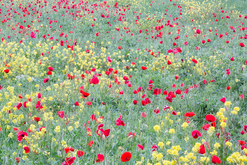 Poppy field growing during Springtime in Tuscany.