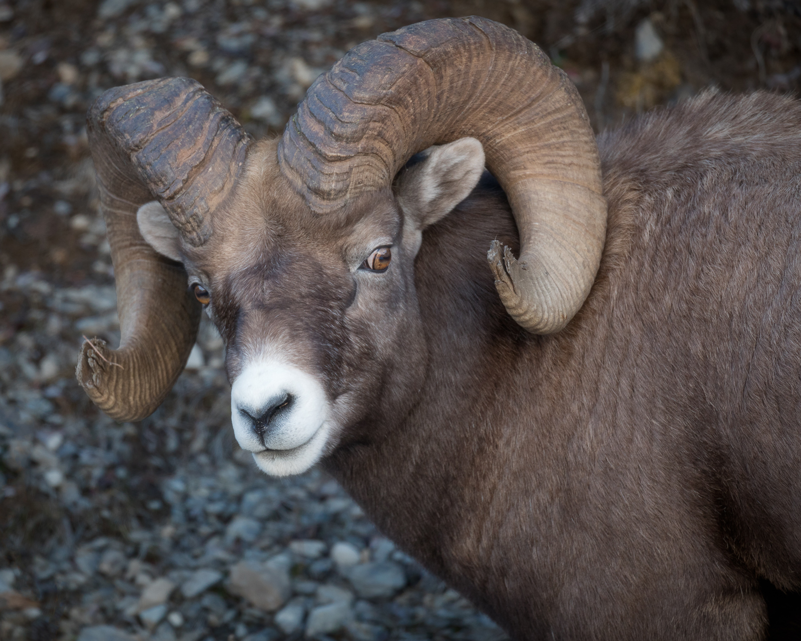 A close-up of a ram off the Icefields Parkway near Jasper National Park.