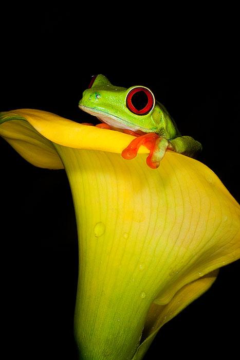 agalychnis callidryas,amphibian,colorful,frog,gaudy,red-eyed,red-eyed tree frog,salientia,vertical, photo