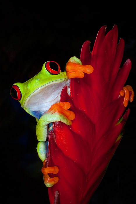 Red-Eyed Tree Frog (Agalychnis Callidryas) hanging onto a red leaf