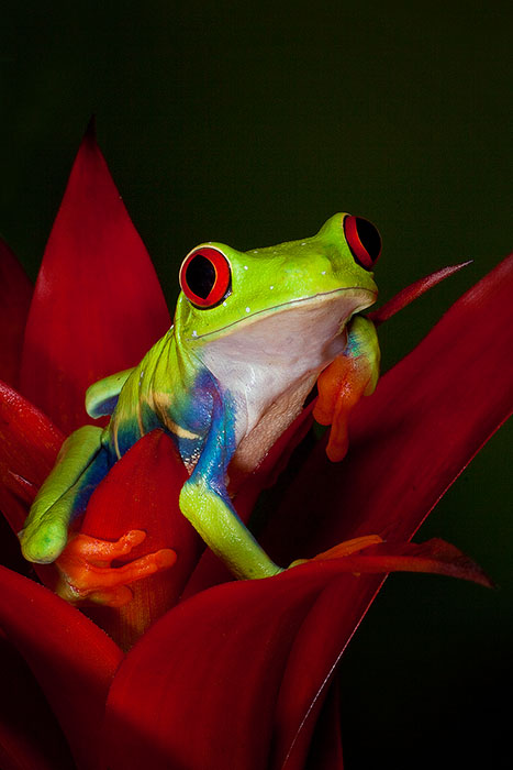 Red-Eyed Tree Frog on Heliconia flower