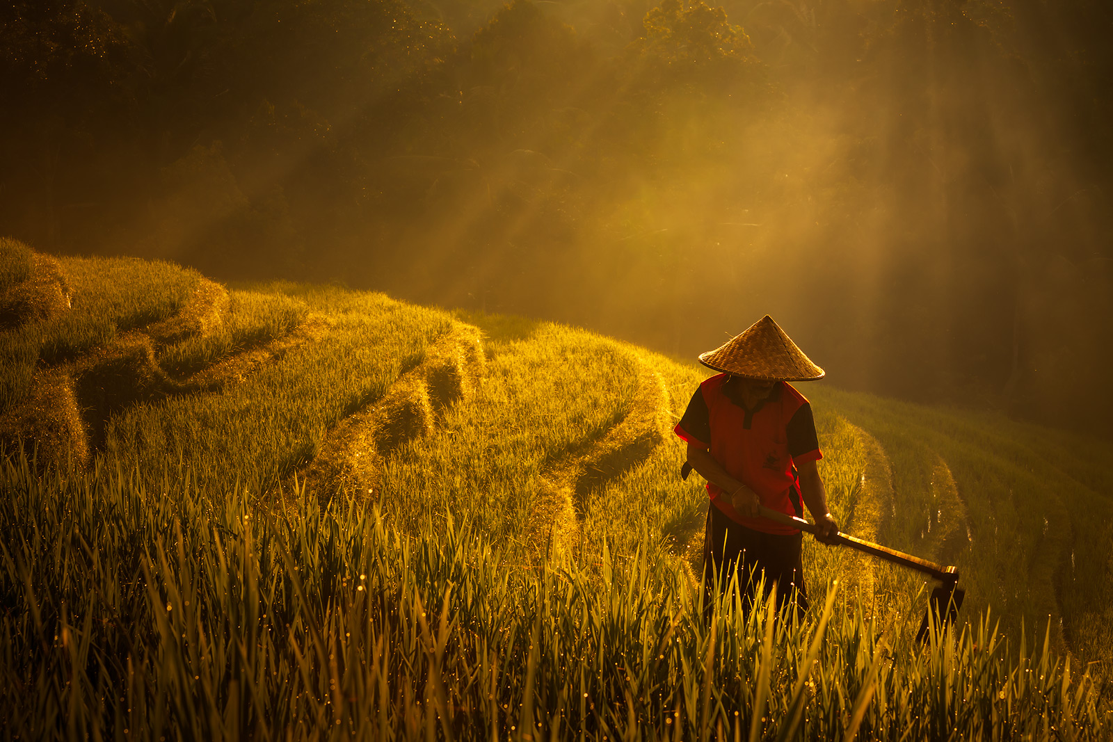 Indonesian rice farmer working in early morning with brilliant sunbeams behind him.
