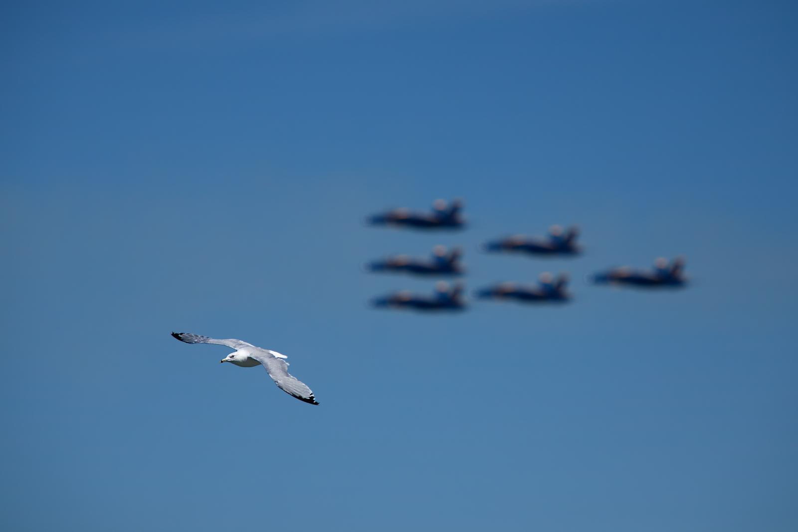 F-16,air show,airplane,bird,blue angels,chicago,chicago air & water show,chicago air and water show,contrast,fighter jet,flight,gull,horizontal,navy,plane,sea gull,seagull,speed,u.s. navy,united s, photo