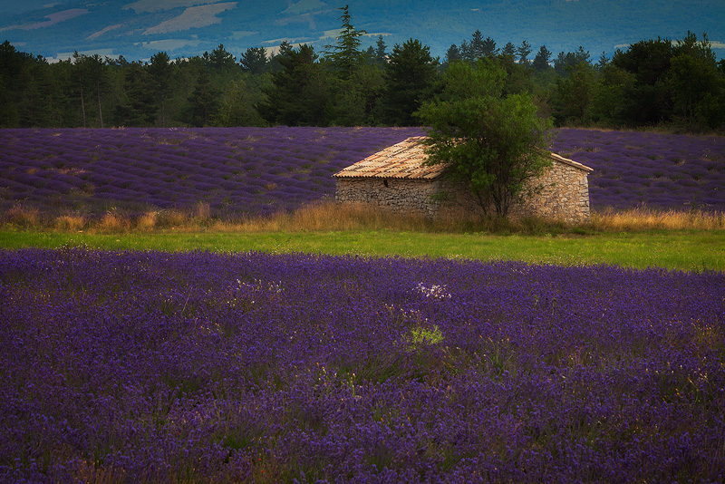 europe,france,horizontal,lavender,purple,sault,southern, photo