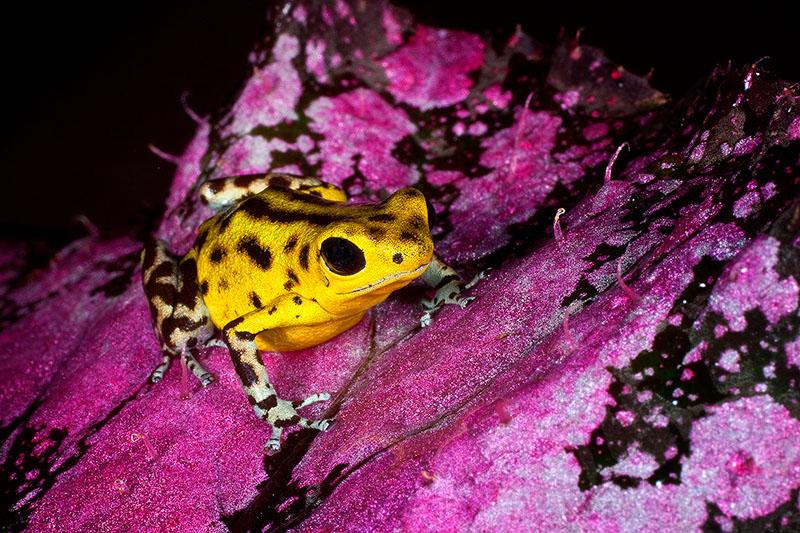 amphibian,colorful,dendrobates pumilio,frog,horizontal,poison dart frog,poison frog,salientia,small,strawberry frog,strawberry poison dart frog,tiny,yellow, photo