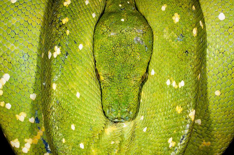 Perfectly symmetrical sleeping Green Tree Python