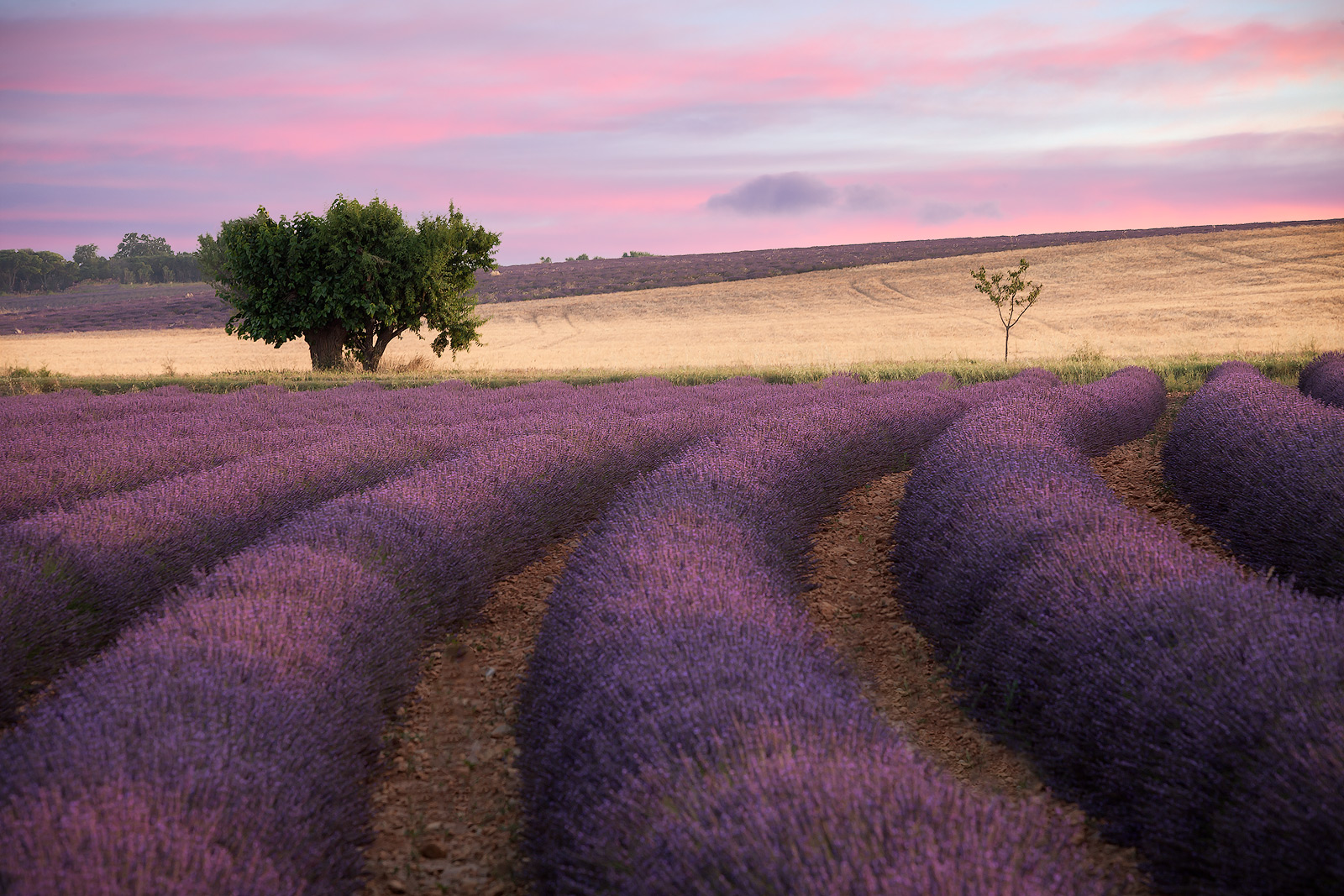 europe,france,horizontal,lavender,purple,southern,tree,valensole, photo