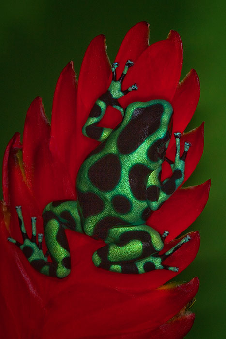 Turquoise morph of Green and Black Poison Dart Frog (Dendrobates Auratus)